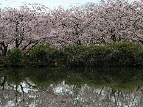 奥須磨公園の桜/神戸市の桜