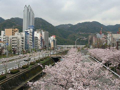 生田川公園の桜/神戸市の花見