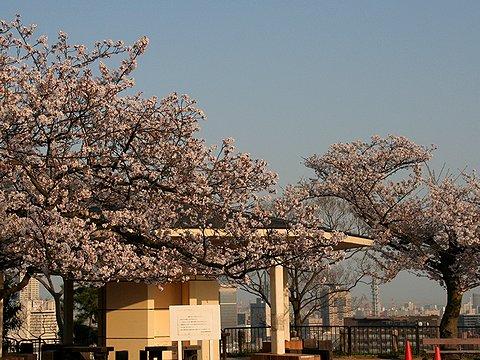 諏訪山公園・金星台の桜/神戸市の桜