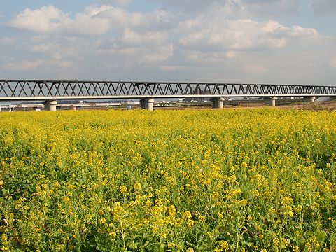 見頃をむかえた加古川の菜の花畑/加古川市・加古川河川敷