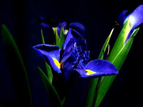 アイリスの花(イリスの花)写真画像