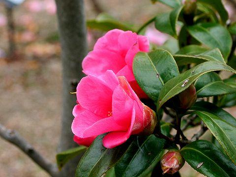 椿(ツバキ)の花/春の花写真画像