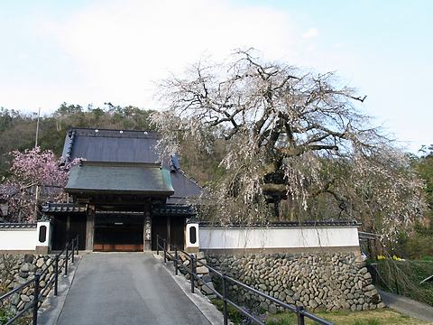 光福寺のシダレザクラ/佐用町