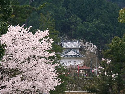 出石城の桜/豊岡市