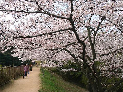 神戸の桜・奥須磨公園の桜/神戸市