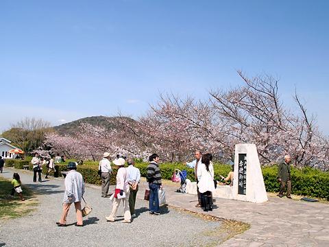 赤穂御崎公園の桜並木/赤穂市
