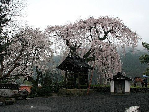 泰雲寺の枝垂れ桜/美方郡新温泉町