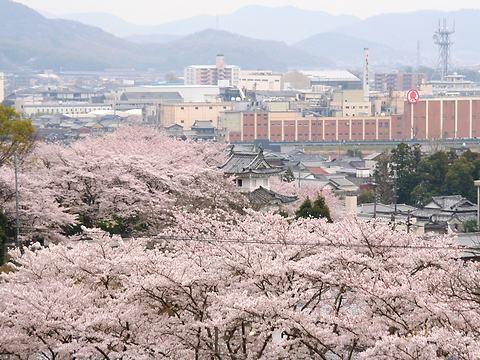 龍野城・龍野公園の桜/たつの市