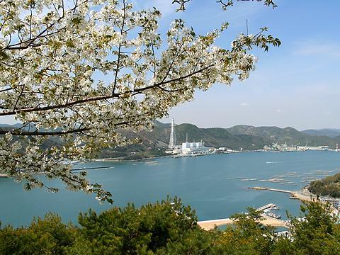 万葉の岬の桜/相生市