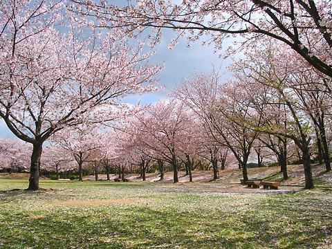 石ヶ谷公園の桜並木/明石市