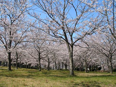 桜の森公園とサクラの花/稲美町