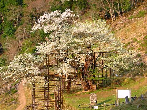 樽見の大桜(大ザクラ)・樽見の仙桜/養父市大屋町