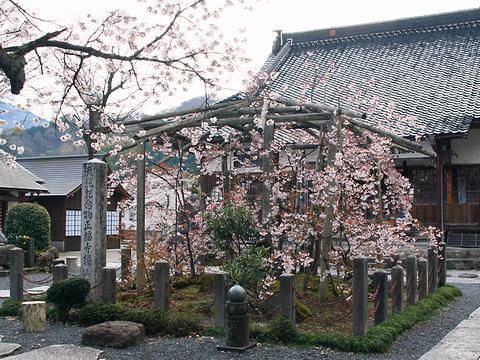 正福寺ザクラ/新温泉町