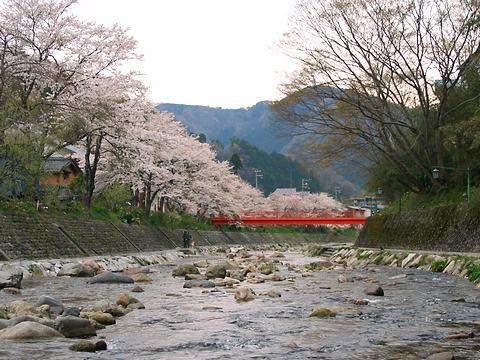 湯村温泉の桜と夜桜ライトアップ/新温泉町