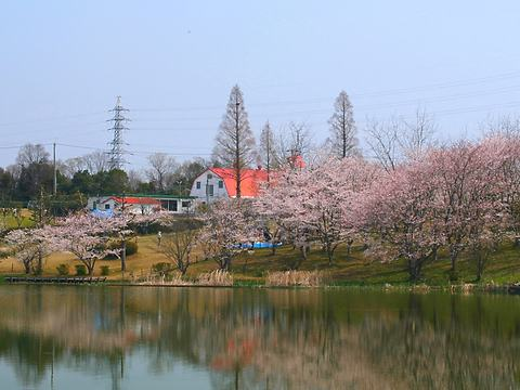 共進牧場の桜/小野市