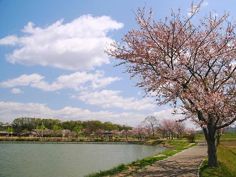 平池公園の桜/加東市