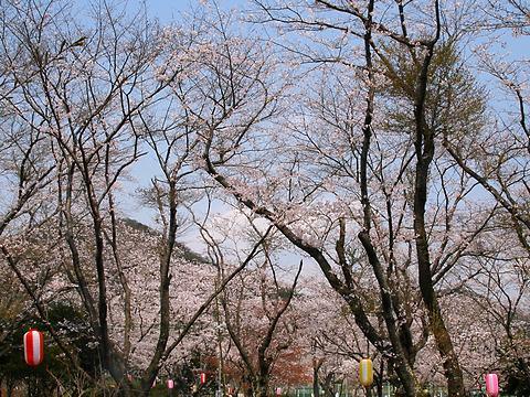 西脇公園の桜/西脇市