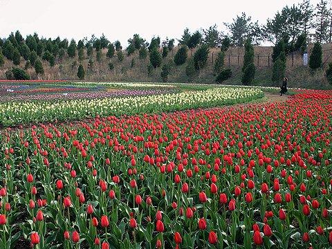 テクノ中央・播磨科学公園都市のチューリップ畑・光都チューリップ園・チューリップの花無料写真素材