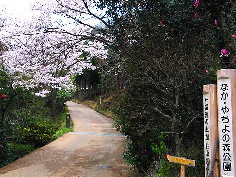 竹谷山渓谷・竹谷山自然公園の桜/加美町