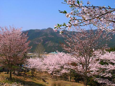 加美町立青年の家・かみ高地の桜/加美町