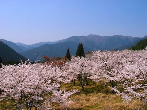 丹治桜公園の桜/加美町
