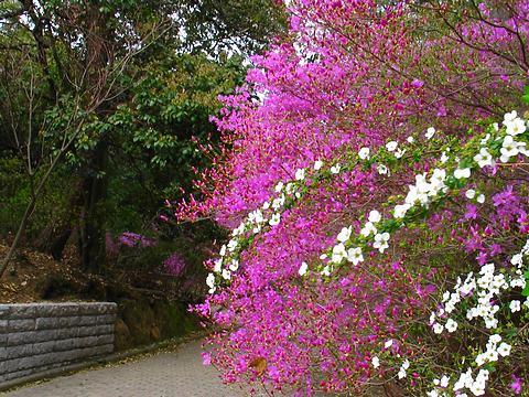 コバノミツバツツジとユキヤナギの花・広田神社/西宮市