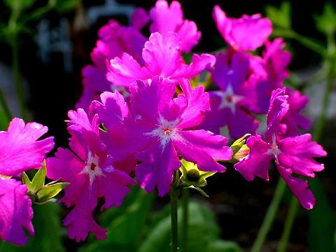 日本桜草(ニホンサクラソウ)の花