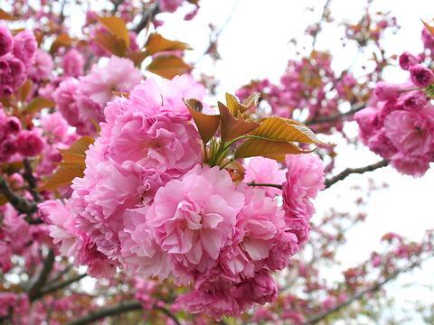 関山(カンザン・里桜)/桜の花