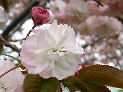 普賢象(フケンゾウ・里桜)/桜の花