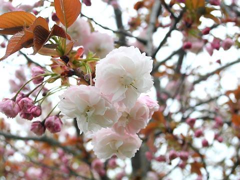 一葉(イチヨウ・里桜)/桜の花