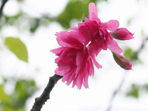 緋寒晩生(ヒカンバンセイ・里桜)/桜の花
