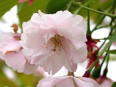 琴平(コトヒラ・里桜)/桜の花
