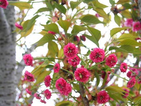 鵯桜(ヒヨドリザクラ・里桜)/桜の花