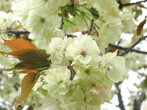 鬱金(ウコン・里桜)/桜の花