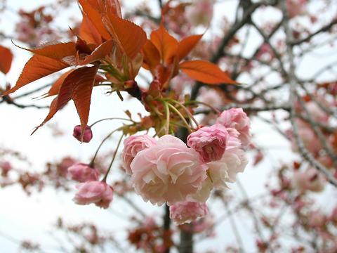 法輪寺(ホウリンジ・里桜)/桜の花