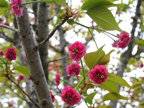 六甲菊桜(ロッコウキクザクラ・里桜)/桜の花
