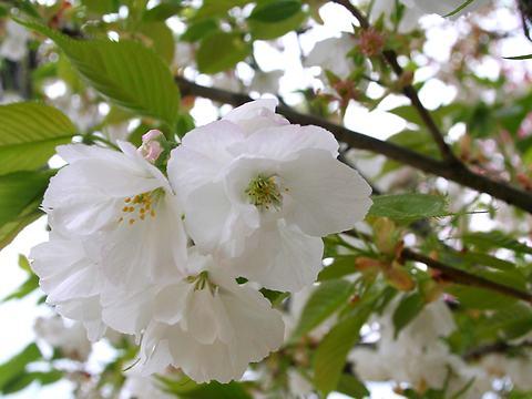 白妙(シロタエ・里桜)/桜の花