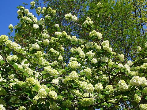 オオテマリ(大手毬)の花