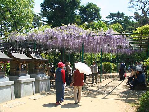 0住吉神社の藤棚・藤の花/明石市