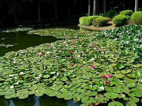 睡蓮(スイレン)の花・須磨離宮公園/神戸市須磨区