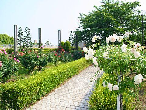 バラの花・手柄山中央公園バラ園/姫路市