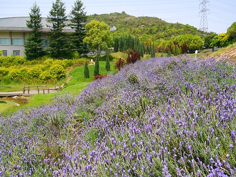 ラベンダーの花・加古川ウェルネスパークラベンダー園/加古川市