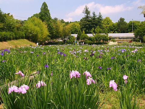 花菖蒲(ハナショウブ)の花・日岡山公園花菖蒲園/加古川市