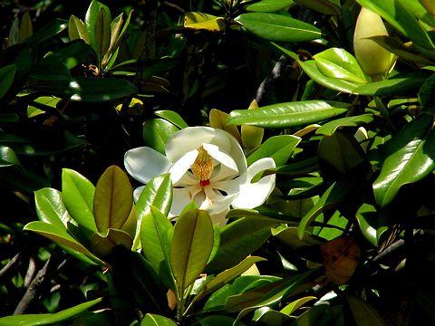 大山木(タイサンボク)の花