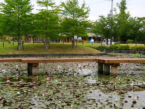 睡蓮(スイレン)の花・平池公園/加東市