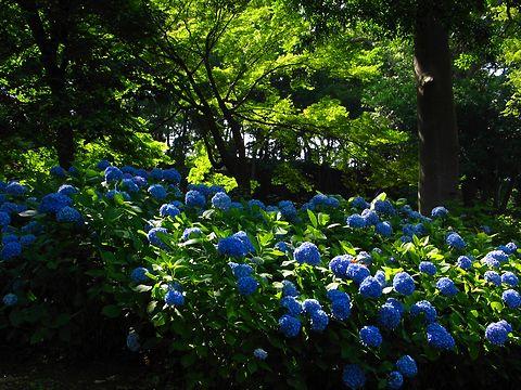 紫陽花(あじさい)の花・神戸須磨離宮公園あじさい園/神戸市