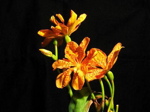 檜扇(ヒオウギ)の花