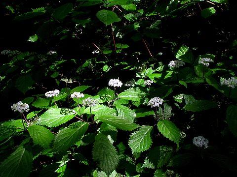 小紫陽花(コアジサイ)の花・六甲山高山植物/神戸市灘区六甲山町
