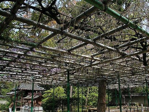 咲き始めたばかりの住吉神社の藤棚