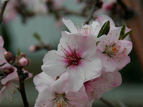 アーモンドの花/水辺の遊歩道・魚崎/神戸市東灘区